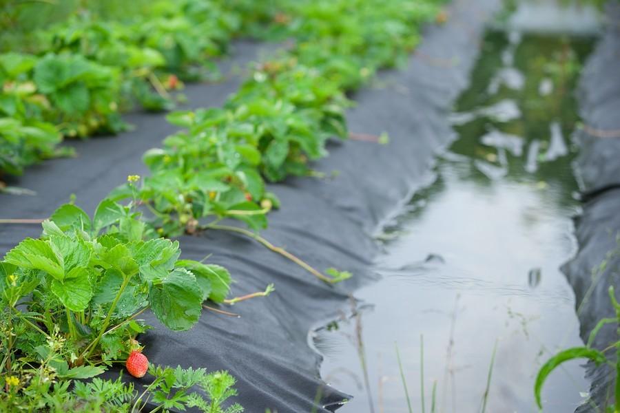 Strawberry Shortage Expected Through Holidays
