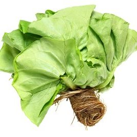 Boston Bibb Lettuce – Aquaponic image