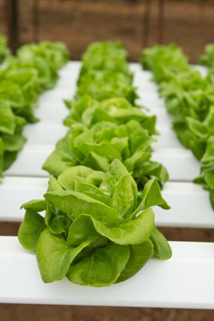 Boston Bibb Lettuce – Aquaponic